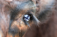 Loving eye of a Belted Galloway Calf
