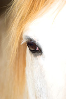 White horse blonde mane one eye view portrait view