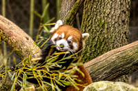 Phayara Red Panda on ground behind bamboo