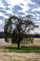 Middle Tennessee Veterans Cemetery Weeping Willow