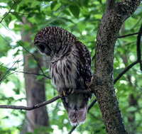 Strix-varia-Barred-owl-looking-down-to-the-left