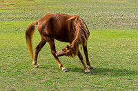Bay horse nibbling on hind leg
