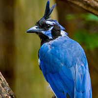 Black Throated Magpie Jay back view head turned