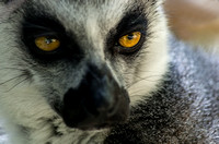 Look deep into my eyes Ring-tailed Lemur