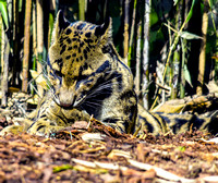 Clouded Leopard on ground cleaning paw