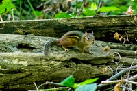 Cute adorable chipmunk woods Radnor Lake