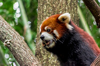 Ailurus fulgens climbing up tree