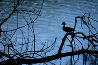 Silhouette of Duck perched on limb Radnor Lake