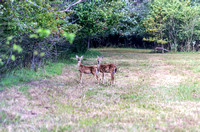 Two fawns in field Peeler Park