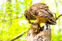Pulling on meal Barred Owl