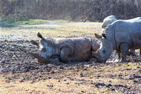 Two White Rhinoceros one laying in mud