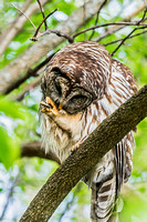 Barred Owl grooming foot perched on small limb