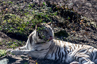 White Bengal Tiger laying down with tongue stuck out