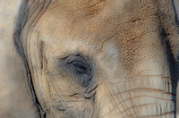 African Elephant one eye view