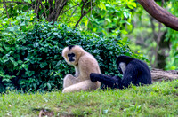 Mom White-cheeked Gibbon with step-brother