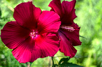 Two big red hibiscus floral blooms