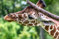 Layla reticulated giraffe scratching the top of her head
