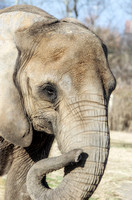 African Elephant creases lines in trunk