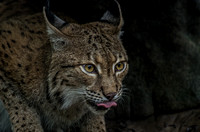 Eurasian Lynx with tongue out with a hypnotized look