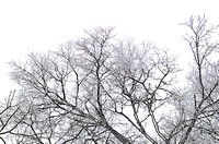Pencil drawing of ice covered tree digitally rendered