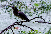 Little Green Heron waters of Radnor Lake