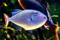 Brightly colored white lips tropical fish