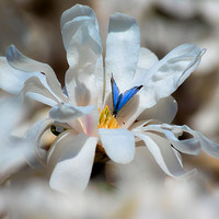 Blue butterfly pollinating Royal Star Magnolia bloom