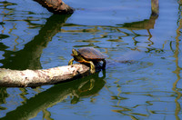 Box Turtle on log waters of Radnor Lake