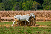 White Horse brushing up against roll of hay