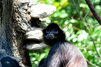 Wide eyed Mexican Spider Monkey looking upward