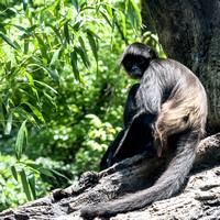 Mexican Spider Monkey sitting on limb square format