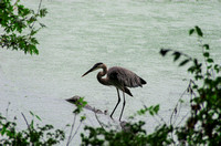 On a rainy summer day Great Blue Heron Radnor Lake