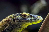 Komodo Dragon with sly look in its eye