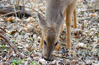 Female deer doe eating leaves grass winter woods ground