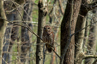 Barred Owl at Radnor Lake State Natural Area on branch