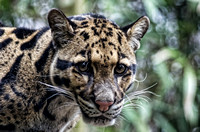Big brown eyes of Clouded Leopard
