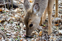 Doe with big black eyes