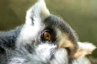Ring-tailed Lemur holding furry tail