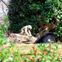 White-cheeked Gibbon mom baby brother square format