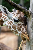 Layla reticulated giraffe rubbing her head up against tree