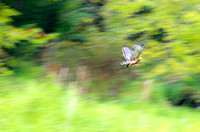 Motion of Red-tailed Hawk in flight