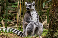 Ring-tailed Lemur sitting down with paws in front