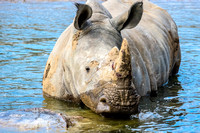 Square-lipped rhino waist deep in pond water