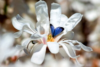 Royal Star Magnolia Blue visiting stamen
