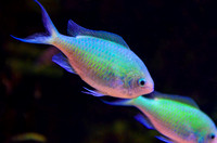 Dual fish in motion in aquarium Unseen New World