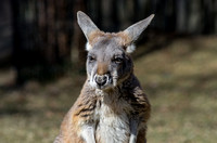 Bendigo second oldest joey a Red Kangaroo