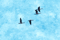 Four Canadian Geese in flight Aqua background