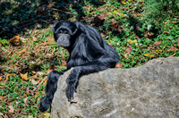 Siamang sitting on rock looking back with puzzled eyes