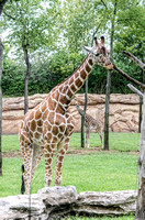 Layla reticulated giraffe standing tall beside tree