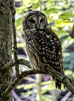 Barred Owl near East Parking lot on Lake Trail Radnor Lake Portrait